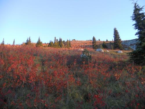 Blueberry bushes in the fall